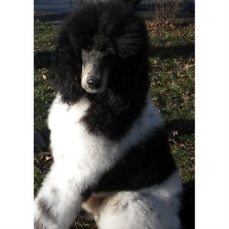 Poodle Standard breeder in Missouri
