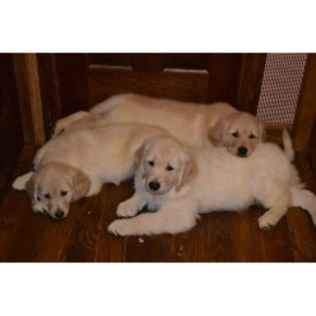 Sherry's Golden Pups, Golden Retriever Breeder in Minerva, Ohio