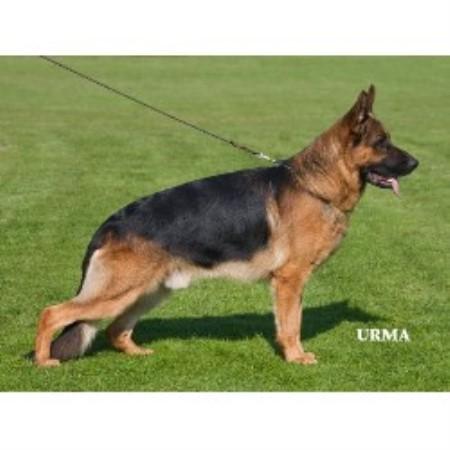 German Shepherd Dog breeder in Maryland