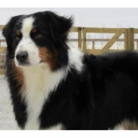 Silver Bullitt Aussies Australian Shepherd Dog Breeder In Des