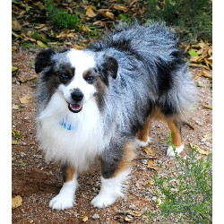Miniature Australian Shepherd Stud in Arizona