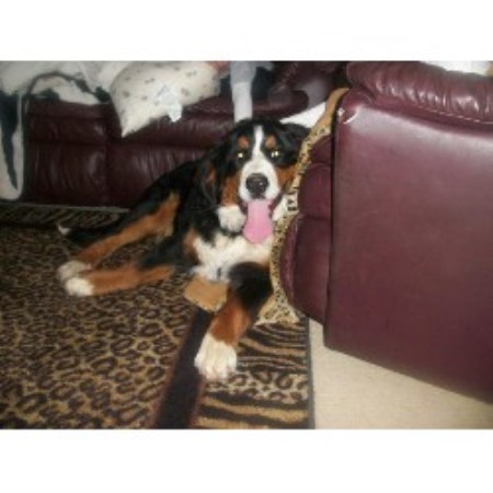 Denali Bernese Bernese Mountain Dog Breeder In Allendale