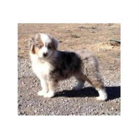 Our Littlebit Ranch, Miniature Australian Shepherd Breeder