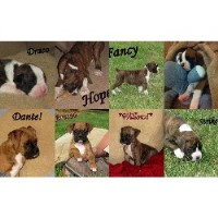 Hydesboxerpuppies