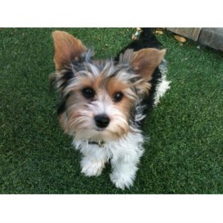 Yorkshire Terrier breedering kennel in Las Vegas