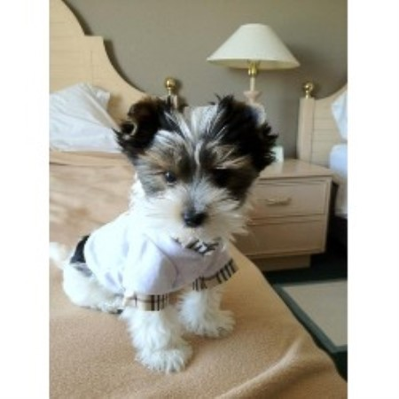 Yorkshire Terrier breeder in Nevada