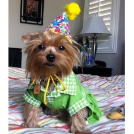 Yorkshire Terrier breeder in Las Vegas
