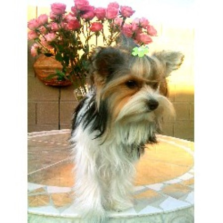 Yorkie breeder in Las Vegas, Nevada