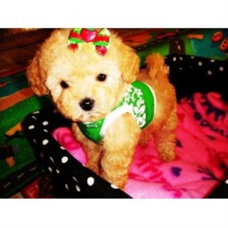 Texas Fancy Poodles, Maltese Breeder