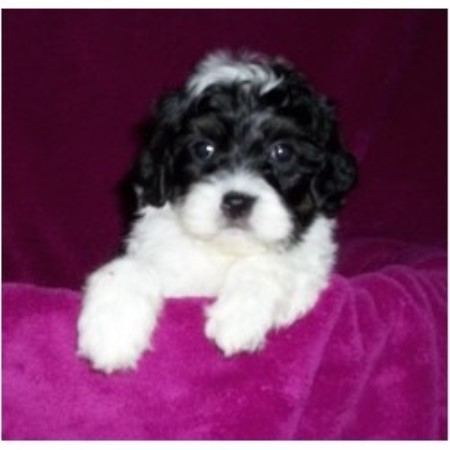 Barmor's Ny And Sc, Cockapoo Breeder in Greenville, South ...