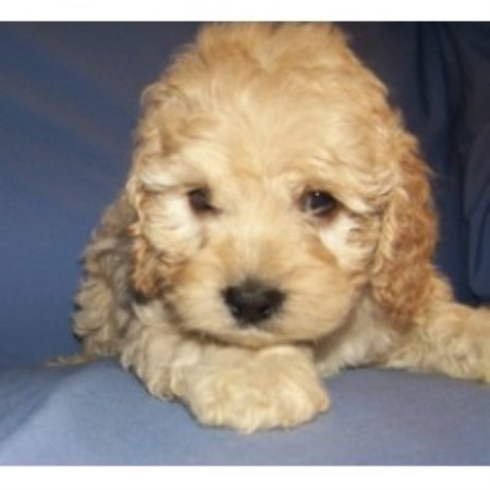 Barmor's Ny And Sc, Cockapoo Breeder in Greenville, South