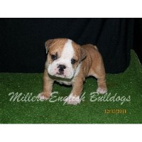 English Bulldog Breeders Near You Page 13