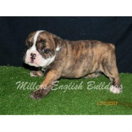 Millers English Bulldogs English Bulldog Breeder In Rocky Comfort Missouri