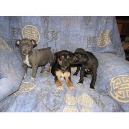 Rainbow Rat Terriers Rat Terrier Breeder In Ransomville New York