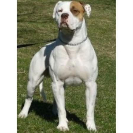 North South American Bulldogs American Bulldog Breeder In
