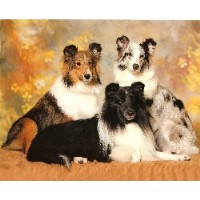 Himark Shelties