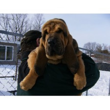 Mountain Crest Bloodhounds Bloodhound Breeder In Cadillac Michigan