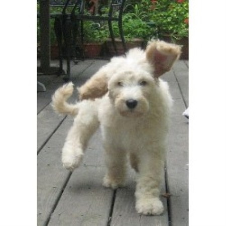 The Puppy Guy Kennel, Goldendoodle Breeder in Glastonbury