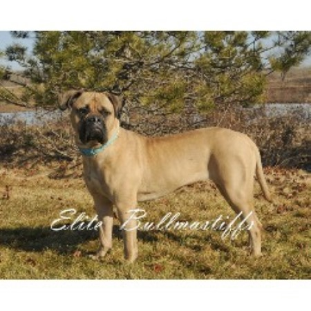 Bullmastiff breedering kennel in Grand Rapids