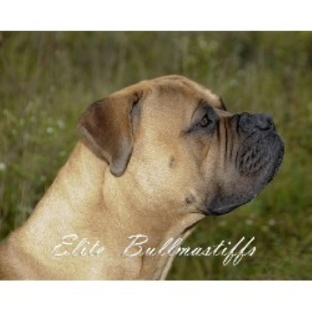 Bullmastiff breeder in Grand Rapids, Michigan