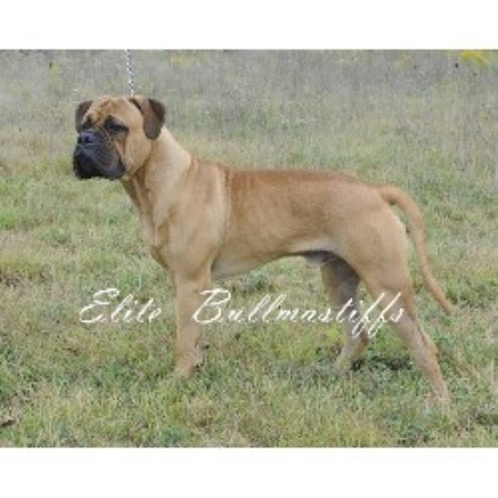 Bullmastiff breeder in Grand Rapids