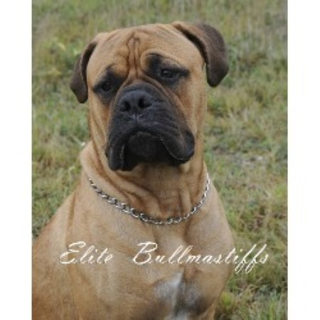 Elite Bullmastiffs