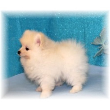Pomeranian breeder Terry 20099