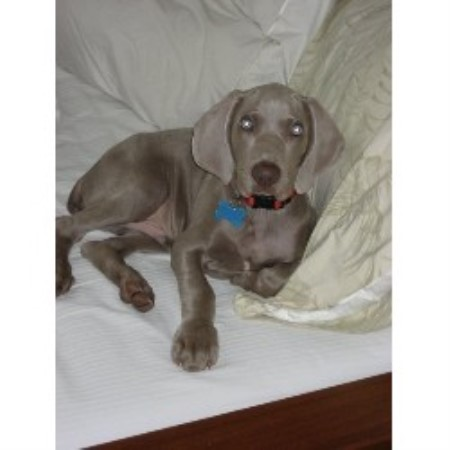 Heaven Sent Kennels Weimaraner Breeder In Cookstown New Jersey
