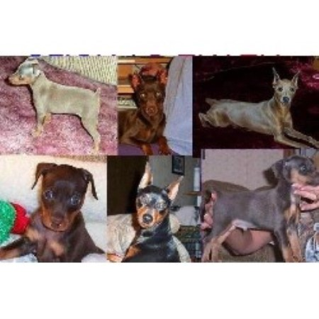 Miniature Pinscher breeder Lebanon 20115