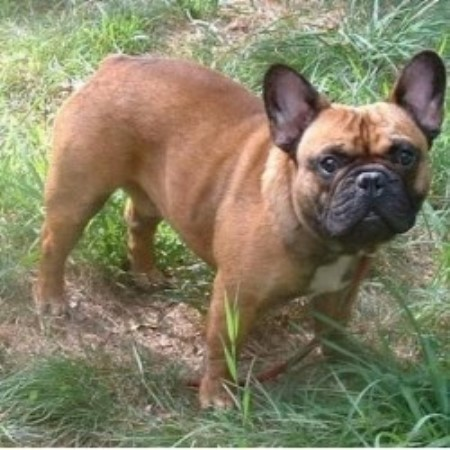 French Bulldog breeder in New Hampshire