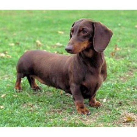 Isabella Dachshund For Sale In Mississippi