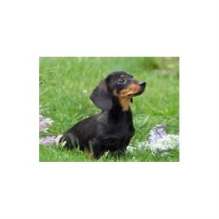 Weenie Dog Puppies For Sale In Mississippi