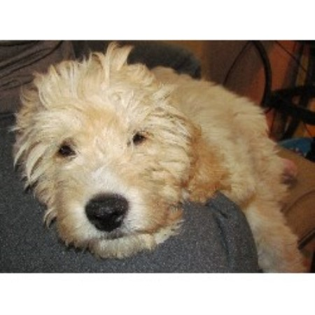 Welsh Terrier Rescue Florida Kaya, Goldendoodle Bre...