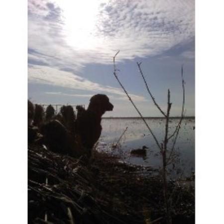 Bayside Labradors Amp Gundogs Labrador Retriever Breeder In