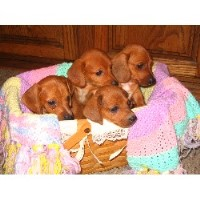 Heartland Dachshunds Of Southern Illinois