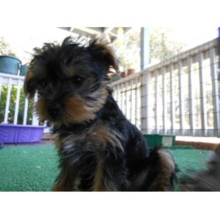Yorkshire Terrier breeder Cool 20282