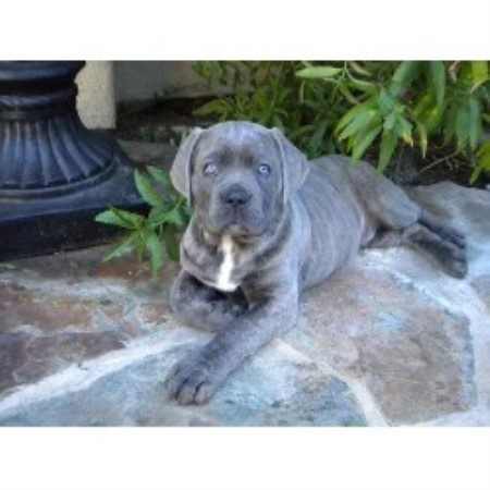 how to become a dog breeder in california