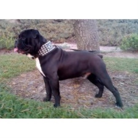 The Northstar Kennel Cane Corso Breeder In San Bernardino California