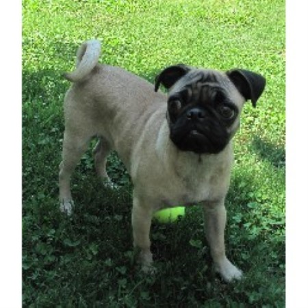 pug puppies for sale in alabama patterson pugs pug breeder in pelham alabama 1290
