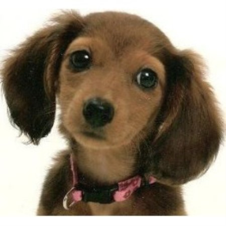 Lancaster S Kennel Dachshund Breeder In Rockwell North