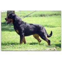 Blue Line Rottweilers