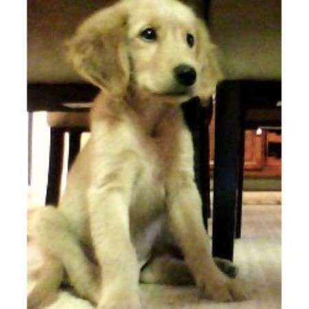 Golden Retriever breeder in Fort White