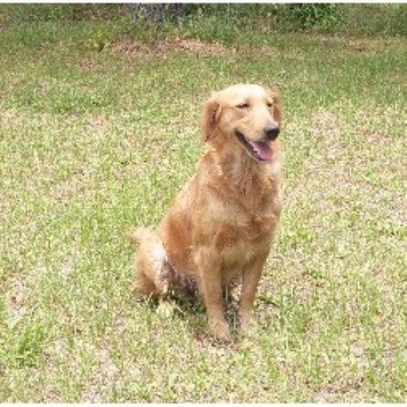 Golden Retriever breeder in Florida