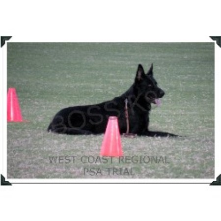 picture from Boss K9 a German Shepherd Dog breeder
