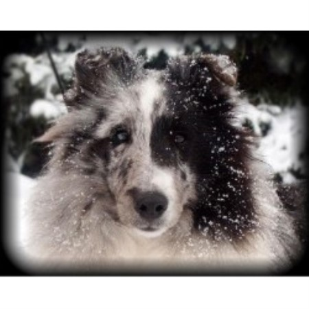 Falmist Shelties Shetland Sheepdog Breeder In Plymouth Ohio