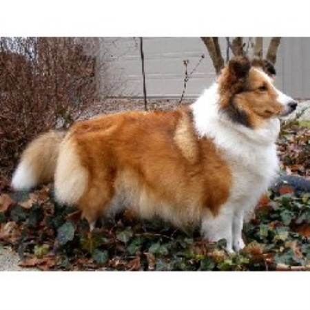 free shelties in ohio