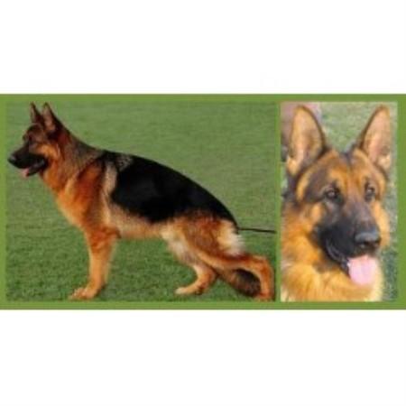 Dog Rescue Ontario German Shepherd