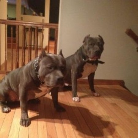 American Pit Bull Terrier (APBT) Breeders in New Hampshire ...