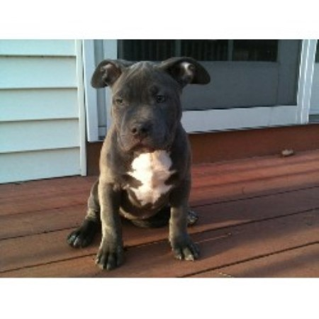 Elite K 9 Kennels American Pit Bull Terrier Breeder In
