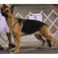 Tropisch German Shepherds